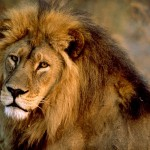african-lion-male_436_600x450