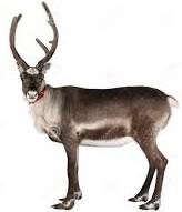 reindeer 3)