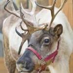 reindeer 4pg